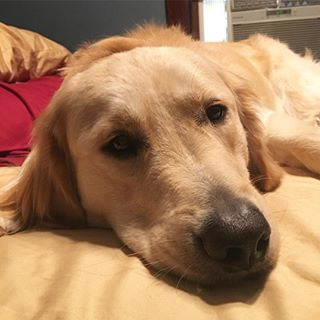 Oh Mommy, stay home tomorrow!! Back to work for this teacher! 😫 #goldensofinstagram #goldenretriever #dogstagram